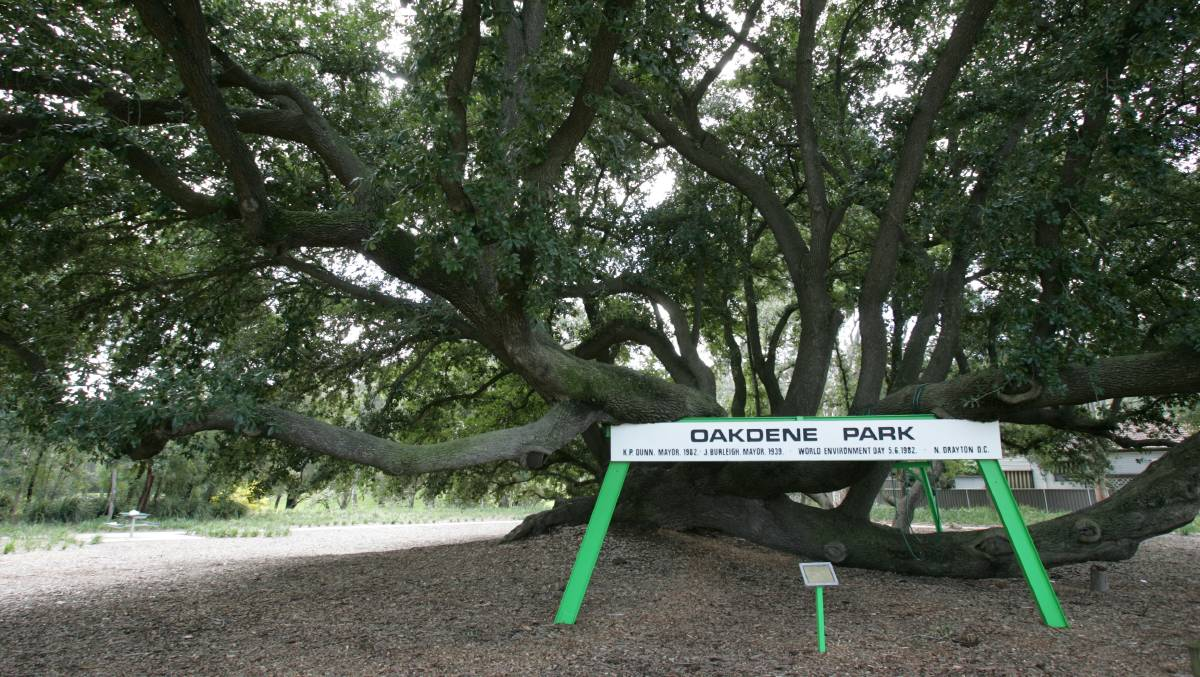 The Bland Oak in Oakdene Park, Carramar.
